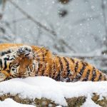 tiger rolling in the snow uhd 4k wallpaper