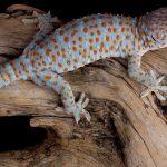 tokay gecko uhd 4k wallpaper