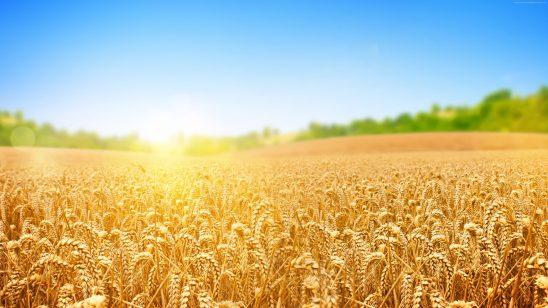 wheat field uhd 4k wallpaper