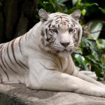 white tiger uhd 4k wallpaper
