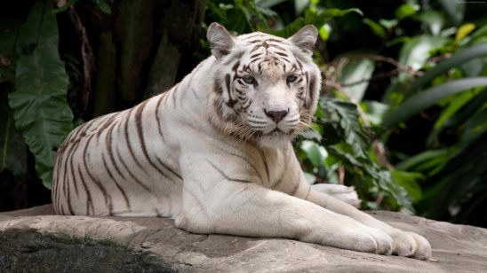 white tiger uhd 4k wallpaper